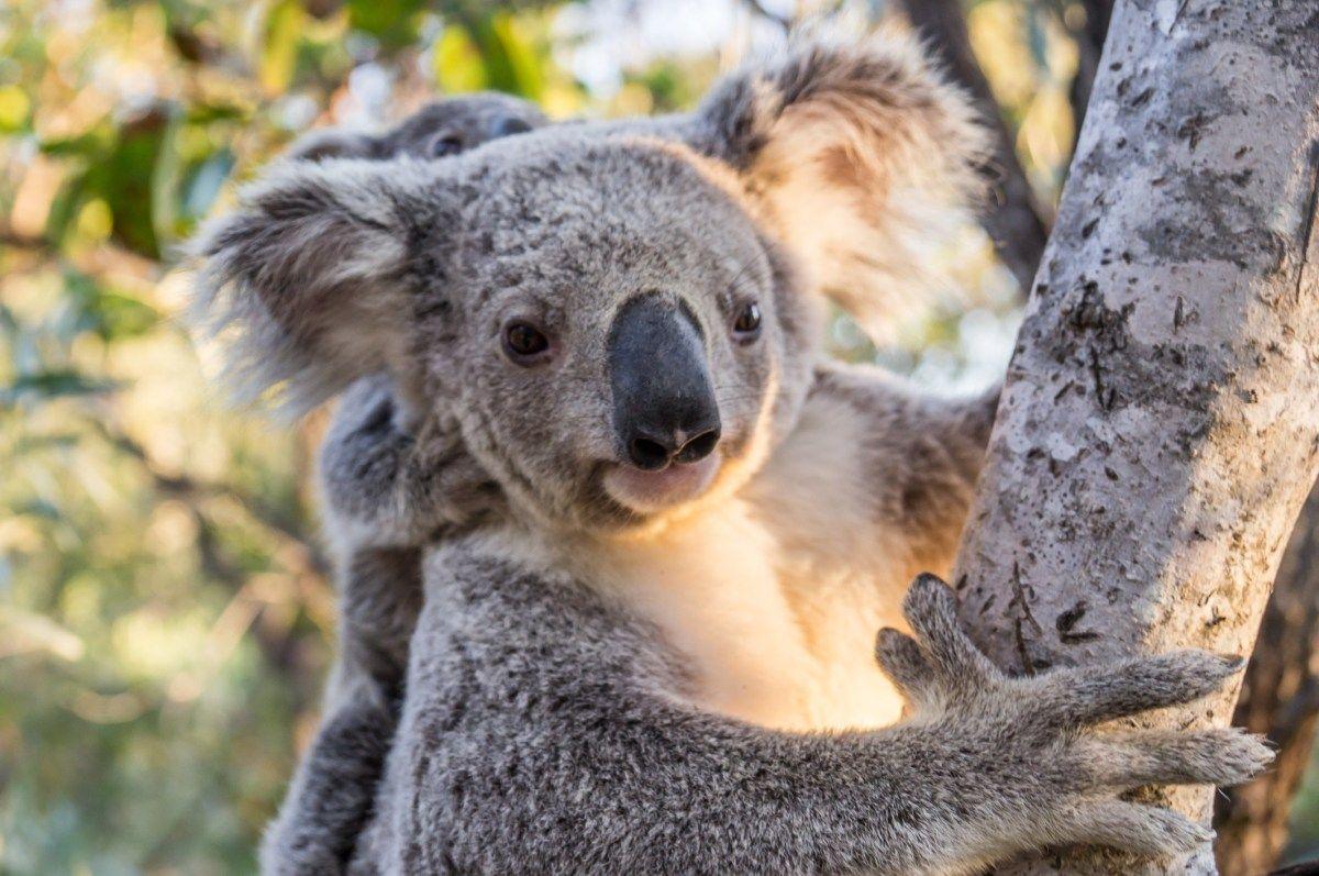 Дикая природа Магнитного острова, коалы на Большом барьерном рифе