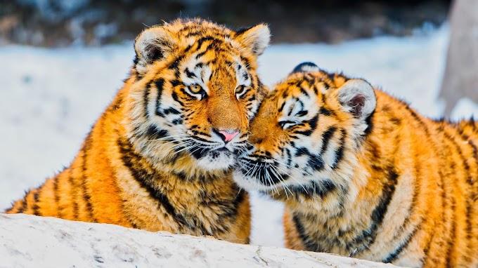 Plano de Fundo Tigres Siberianos