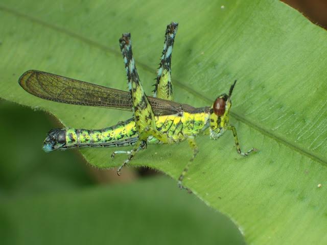 Chorotypidae