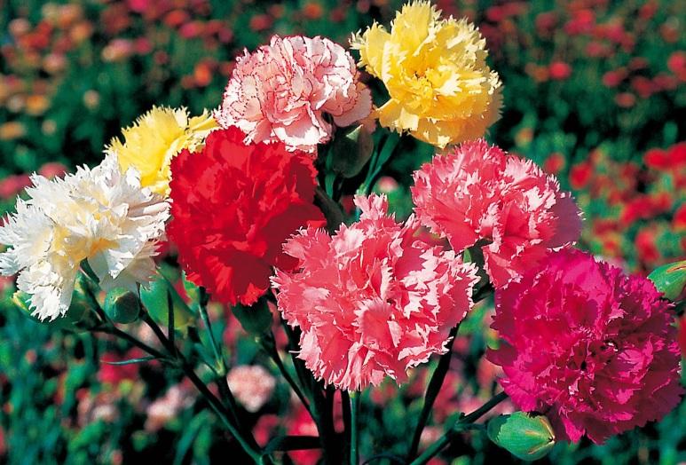 warna bunga anyelir beserta artinya