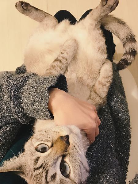 飼い主の膝の上で仰向けに寝転がっているシャムトラ猫