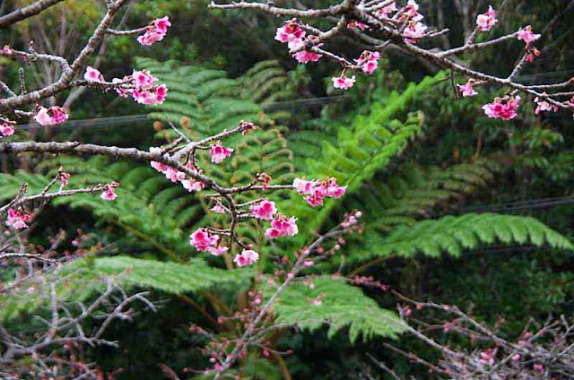 Cherry blossoms with ferns in background