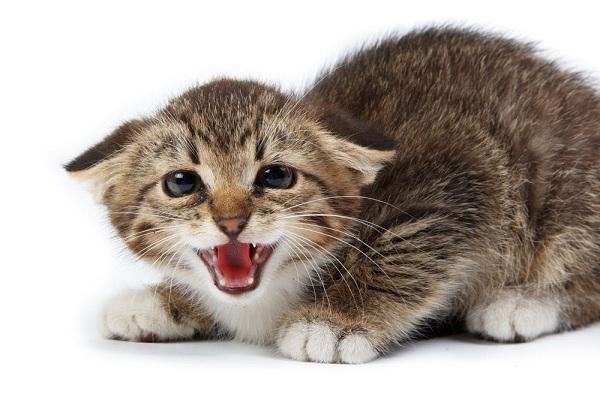 Ciri ciri kucing stres