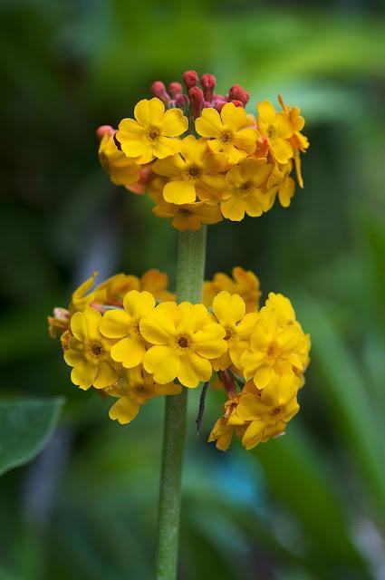 Bulley's primrose - Primula bulleyana
