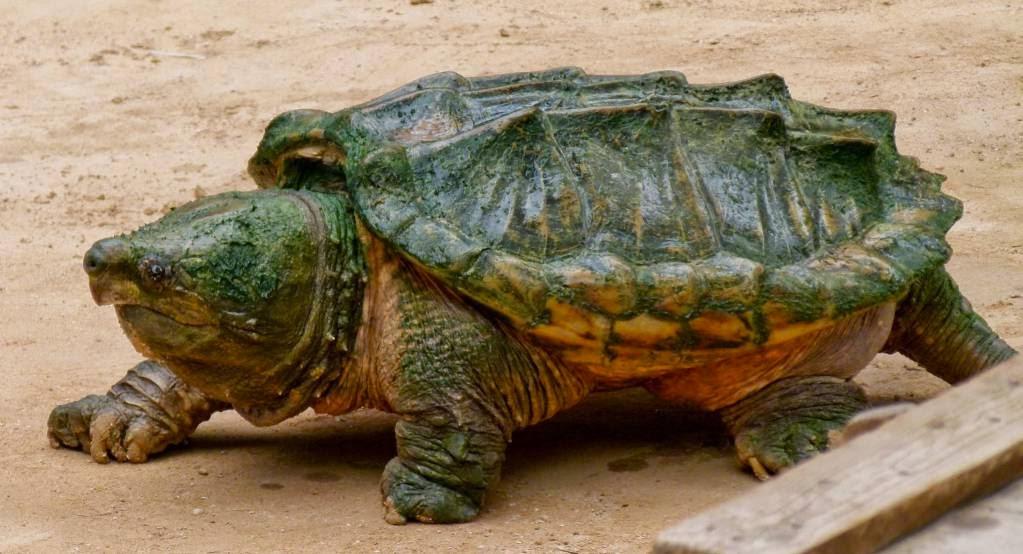La tortuga, un reptil
