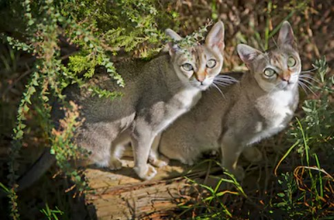 Singapura Cat - all you want to know about Singapura Cats