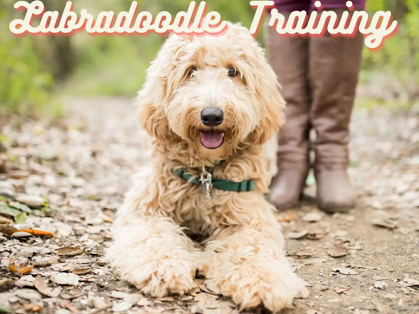 Labradoodle-Training-Guide