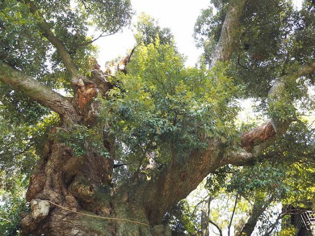 宿椎・・・・スダジイの巨木