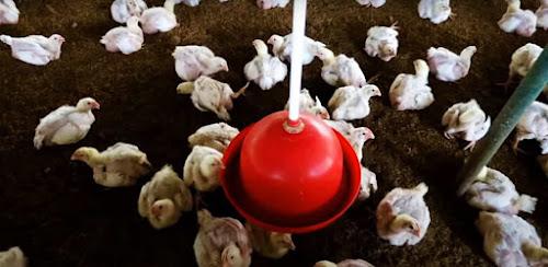 मुर्गी पालन