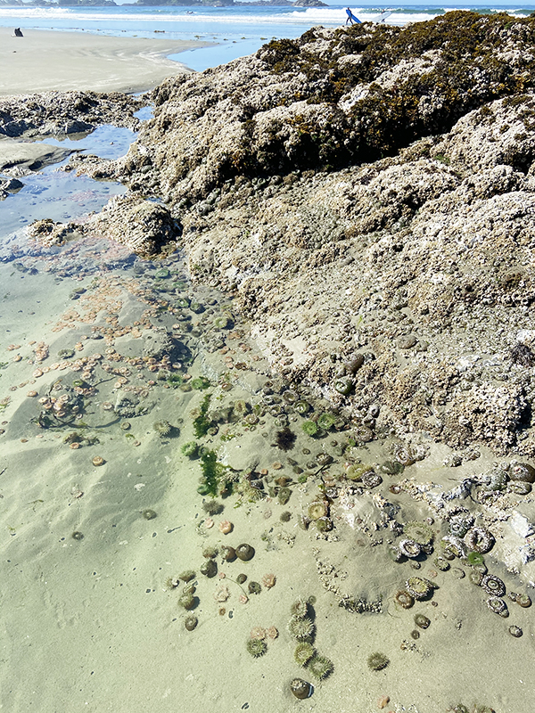 Sea anemones cling to the rock in a tidal pool on Chesterman Beach, Tofino.