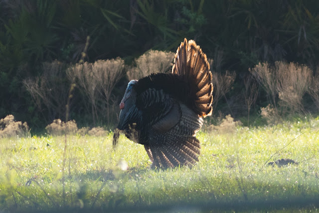 Wild Turkey - Florida