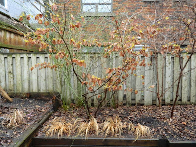 Arnold Promise witch hazel in my Toronto garden by garden muses-not another Toronto gardening blog