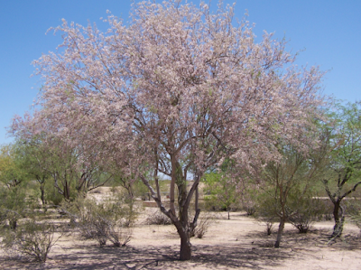 An Ironwood tree with pinkish blooms surrounded by smaller mesquite trees.