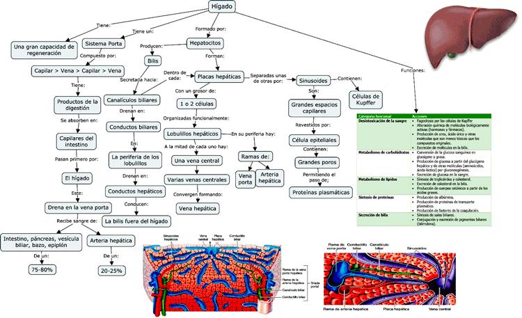 Mapa de concepto del Hígado