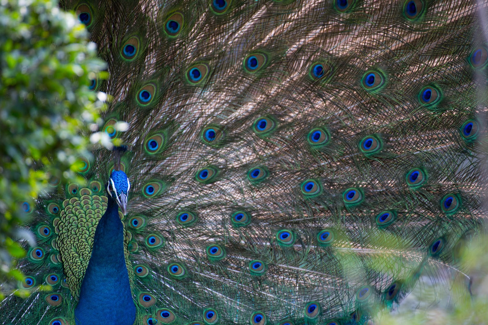 blue-and-grey-peacock-images
