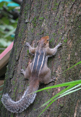 Indian palm squirrel, Funambulus palmarum,  three-striped palm squirrel,squirrels and mobile phone towers