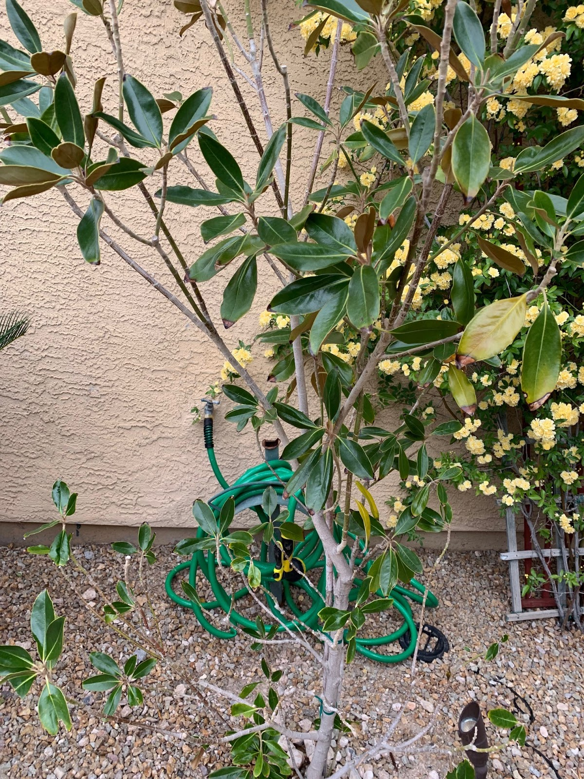 Xtremehorticulture Of The Desert Magnolias Need Special Locations