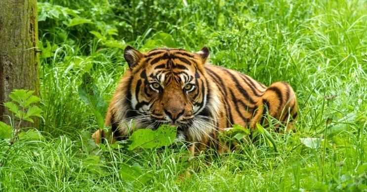 Kaplanların postlarında ve derilerinde turuncu, siyah ve beyaz desenler vardır.