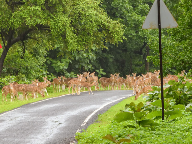 Spotted deer Tadoba