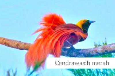 Jenis Burung Cendrawasih