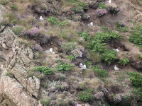 Northern Fulmar colony – Erris Head, Ireland – June 2010 – photo by Anthony Hickey