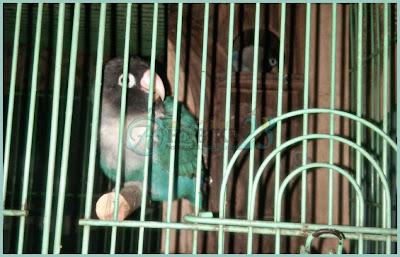 Burung lovebrid yakni salah satu jenis burung kicauan pemakan buah Kendala Dalam Berternak Burung Lovebrid