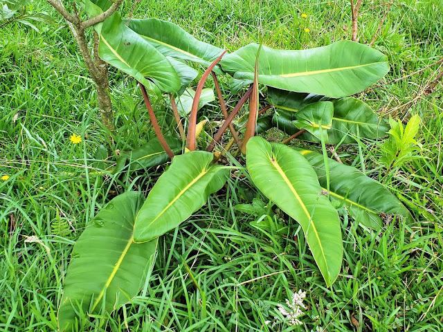 araceae plant costa rica
