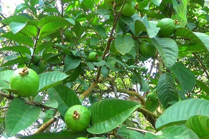 Dlium Common guava (Psidium guajava)