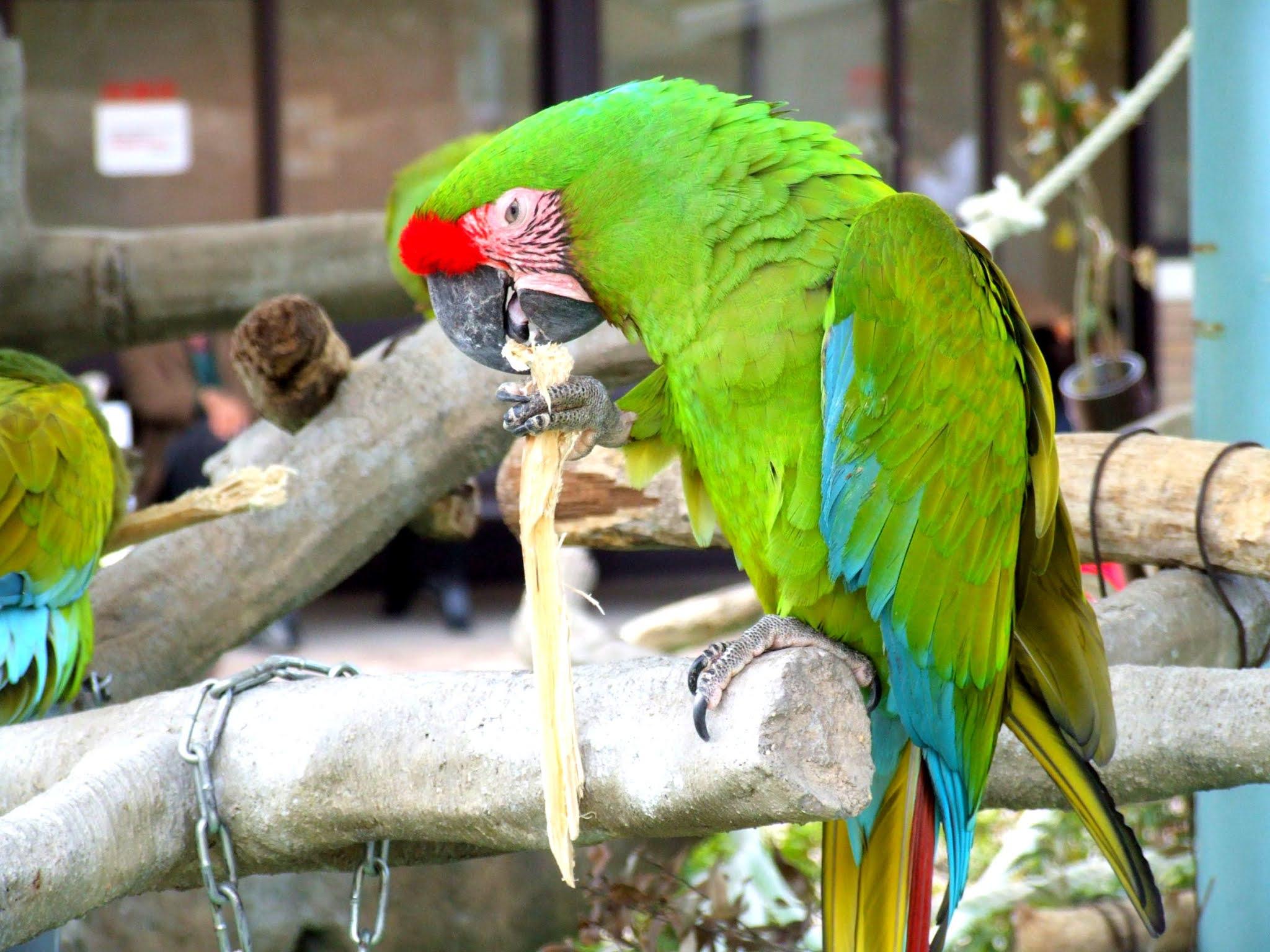 緑の鮮やかな被毛が美しい、オウム目インコ科のミドリコンゴウインコというオウムの写真素材です。