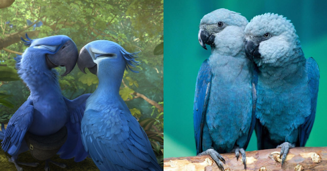 Blue Macaw parrot from the movie 'Rio' is now officially extinct