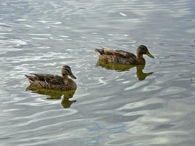 kaczki, krzyżówki, ptaki wodne, odbicie w wodzie