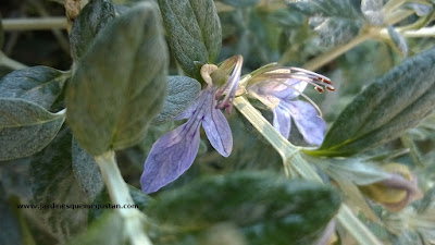 Olivilla (Teucrium fruticans)