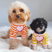 The Cavapoo dog can be large and small