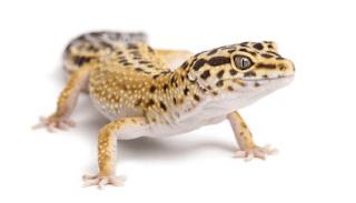 hewan peliharaan gecko