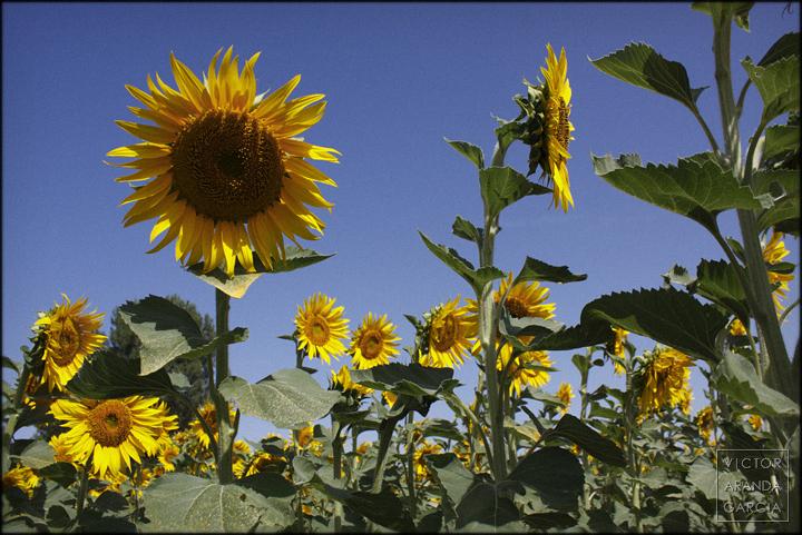 girasoles,fotografia,naturaleza,flores,campo,cuenca