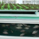 Mari Populerkan Aquaponic, Seni Berkebun Sambil Beternak Ikan