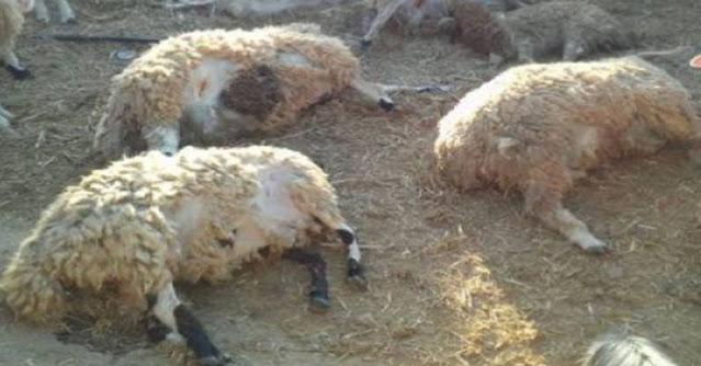 وزارة الفلاحة تدعو الفلاحين بالتقيّد بالإجراءات الوقائية لحماية حيواناتهم من مرض اللسان الأزرق