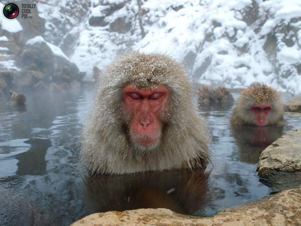 Mono De La Nieve Japonés Rincón Abstracto