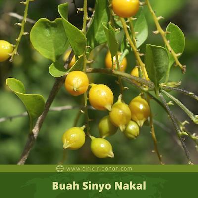 Buah Sinyo Nakal