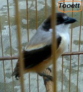 Burung cendet merupakan salah satu burung predator yang bernafsu dan aktif Cara Mengatasi Ekor Cendet Rusak Dan Tidak Tumbuh