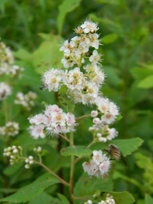 Spiraea alba var. latifolia White meadowsweet at Skyline Trail Cape Breton Highlands National Park by garden muses-not another Toronto gardening blog