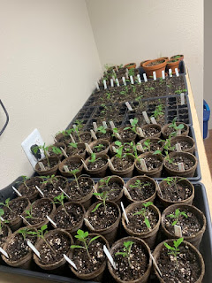 Five rows of seedlings on a counter top inside