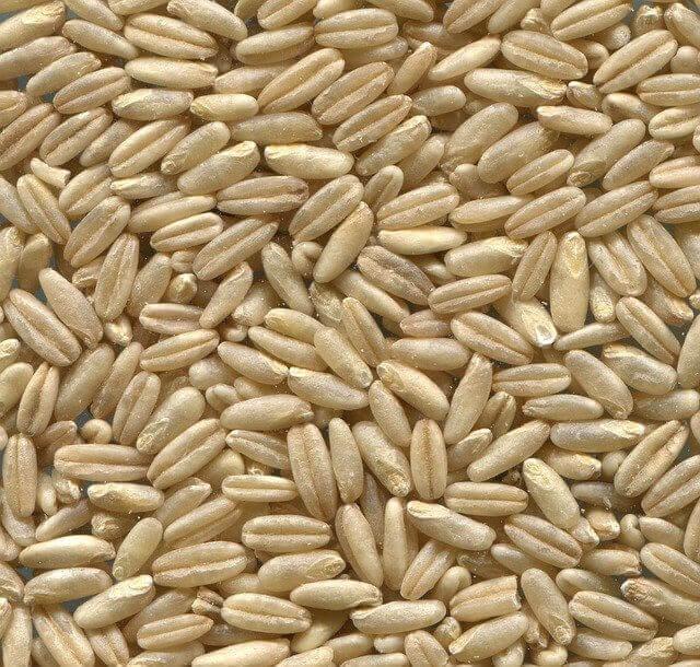 naked-oats_seed بذور حبوب الشوفان الخرطال
