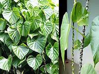 Mengenal Manfaat Brotowali Untuk Obat Herbal Alami