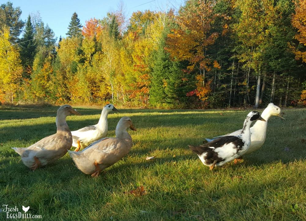Ducks Need Niacin (aka Ducks Love Peas!)   Fresh Eggs Daily®