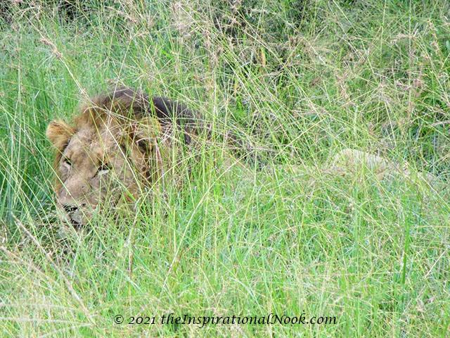 Lion, safari, Mosetlha Bush Camp, Madikwe Game Reserve, South Africa