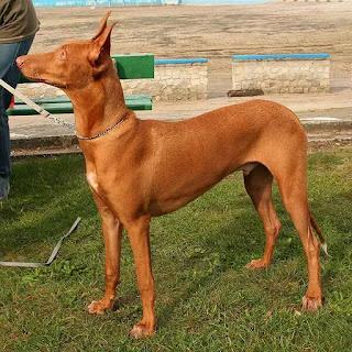 الكلب الفرعوني