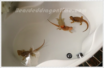 bearded dragon care bathing