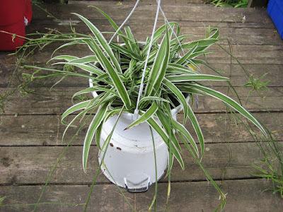 tanaman hias daun spider-plant untuk pembersih udara