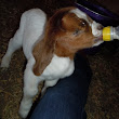 How to Bottle Feed Goat Kids: Precious Update